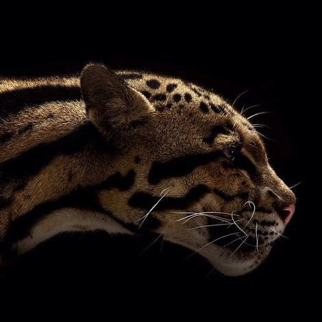 big cats vincent j musi everythingwithatwist 03